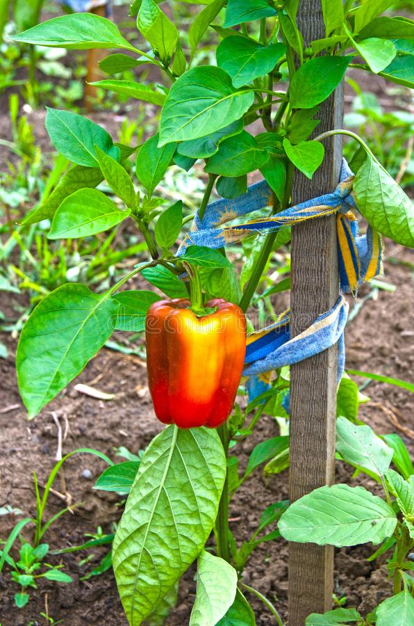 Red, Bulgarian pepper growing in the garden. Russia. Siberia stock images