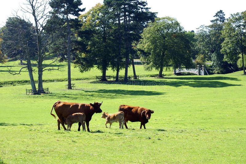 Red bull beef cattle. With calves in a field stock photography