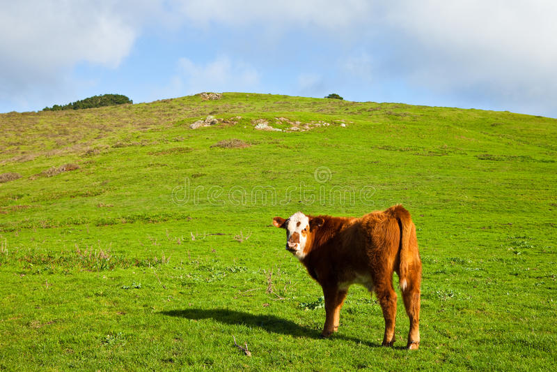 Download Red Bull novo foto de stock. Imagem de vaca, nave, colorido - 12800948