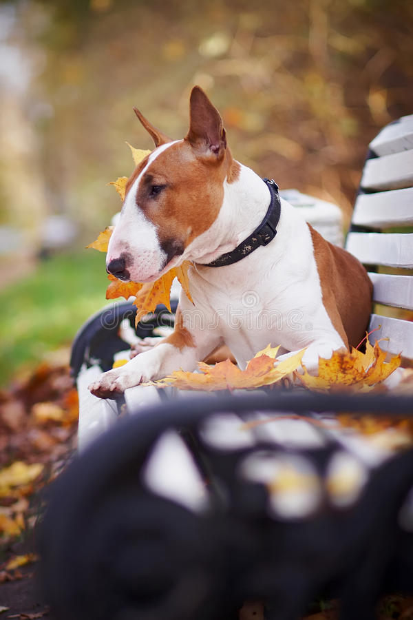 The red bull terrier lies on a bench. In the autumn afternoon royalty free stock images