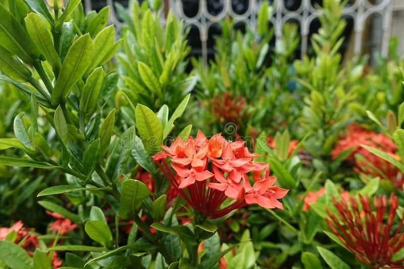 Red bunch of ixora, small bouquet of flowers stock photo