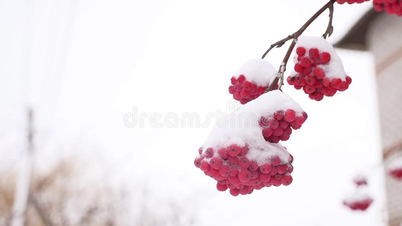 Red bunches branch of rowan winter covered with the first snow. Red bunches branch of rowan winter covered with first snow royalty free stock photography