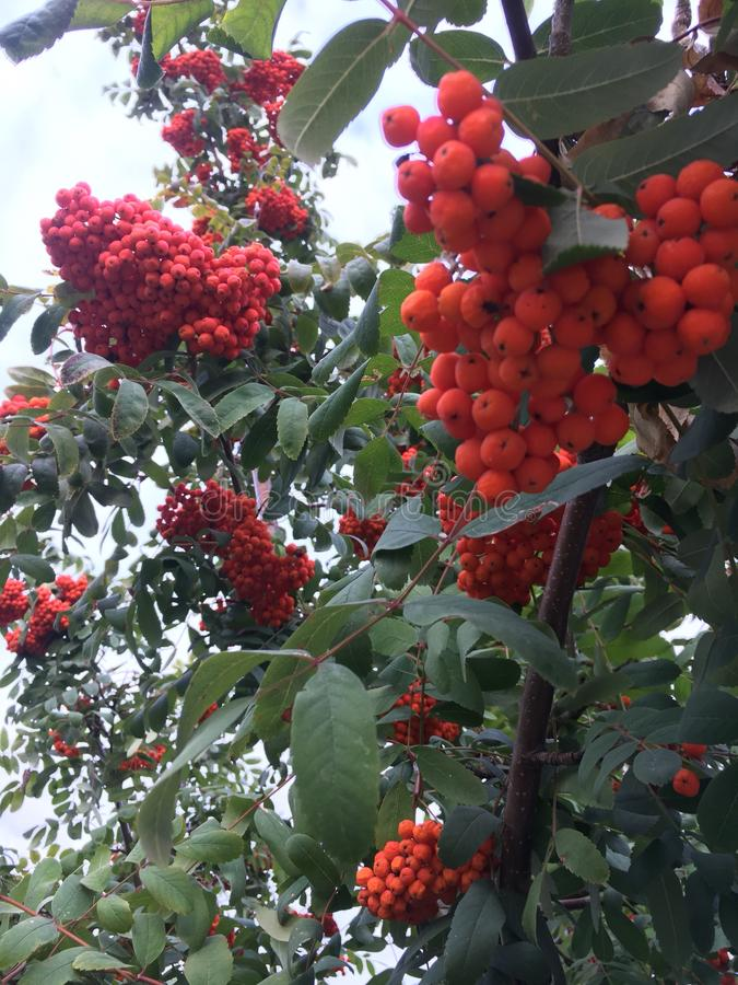 Red bunches of mountain ash. Red clusters of mountain ash on a tree stock images