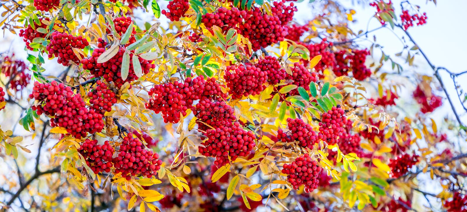 Red bunches of mountain ash on a tree among yellow leaves_. Red bunches of mountain ash on a tree among yellow leaves stock photos