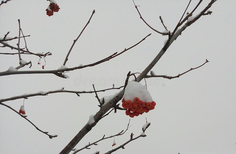Red, bunches, rowan, covered, winter, hoarfrost, background, bright, snow, white, ashberry, tree, closeup, christmas, season, fore stock image