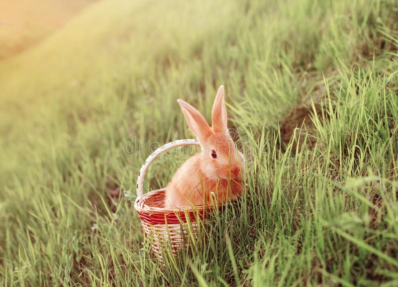 Red bunny in basket on grass. The red bunny in basket on grass royalty free stock photo