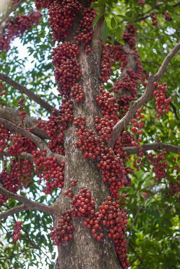 Red Burmese grape. Burmese grape on tree in garden stock photography