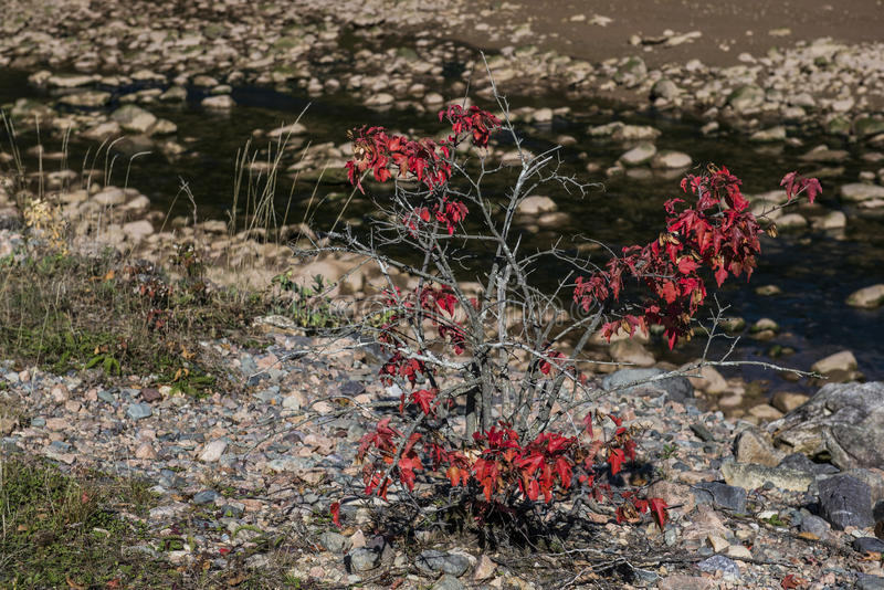 Red Bush on Riverbank stock photos