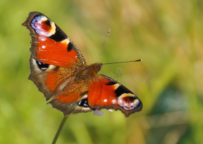 Red butterfly on flower stock image