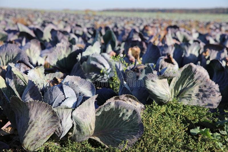 Red Cabbage on the Field stock photos