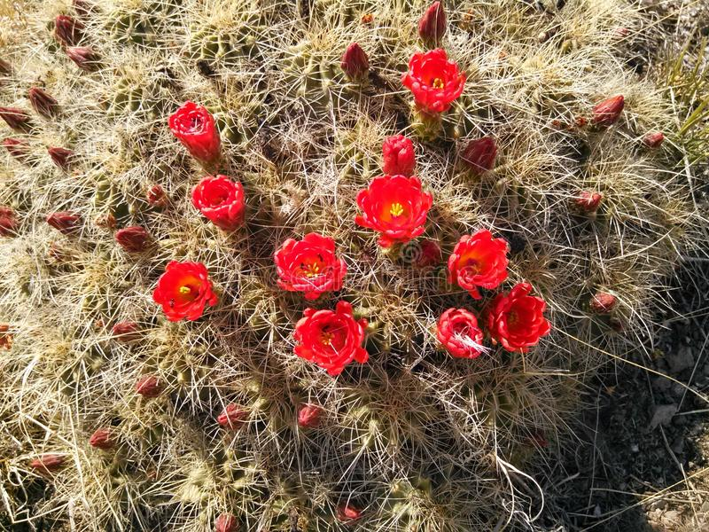 Red cactus blossoms stock images