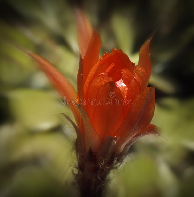 Download Red Cactus Flower stock photo. Image of light, open, springtime - 14310832