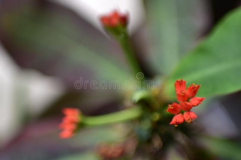 Red cactus flowers in pots with long green leaves. Red cactus flowers in pots with  green stock image