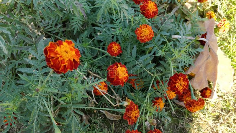 Red Calendula Flowers or Red Marigold Flowers. A Beautiful Picture of Red Calendula Flowers or Red Marigold Flowers in Garden of Five Senses Park of New Delhi stock image