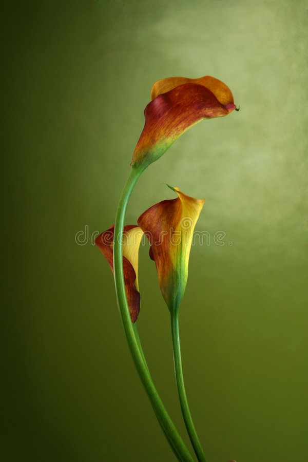 Red callas royalty free stock photo