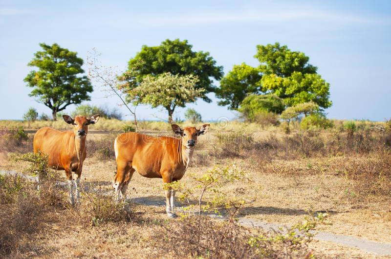 Red calves on a pasture in a field against a beautiful summer landscape, Selective focus. Baby cow, calf, livestock, animals.  royalty free stock photos