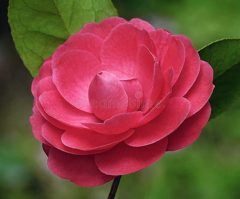 Red camellia stock image image of flowers camellias for Camelia rossa