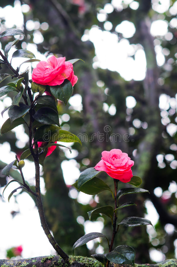 Red camellia royalty free stock photos