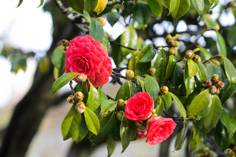 Red camellia royalty free stock images