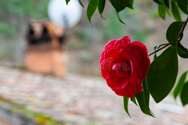 Red camellia flower royalty free stock photo