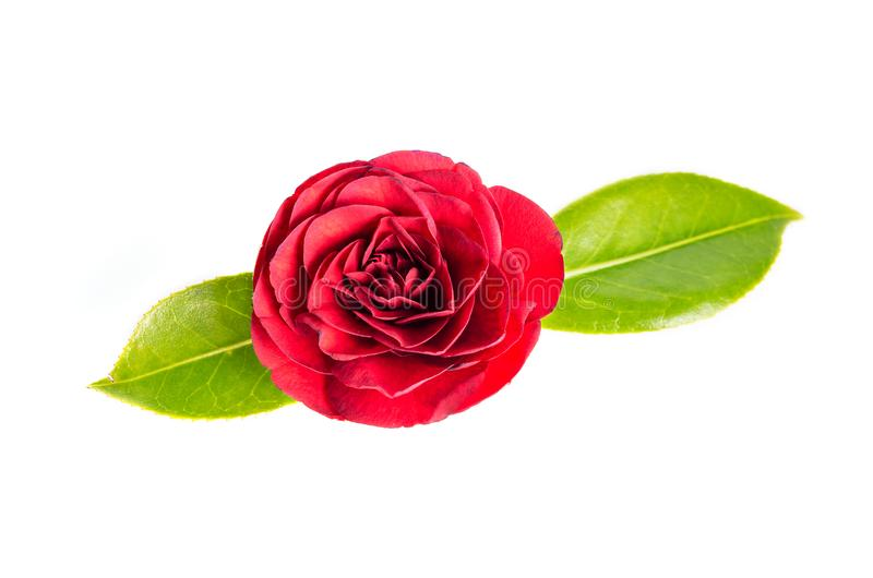 Red camellia flower isolated on white background stock photography