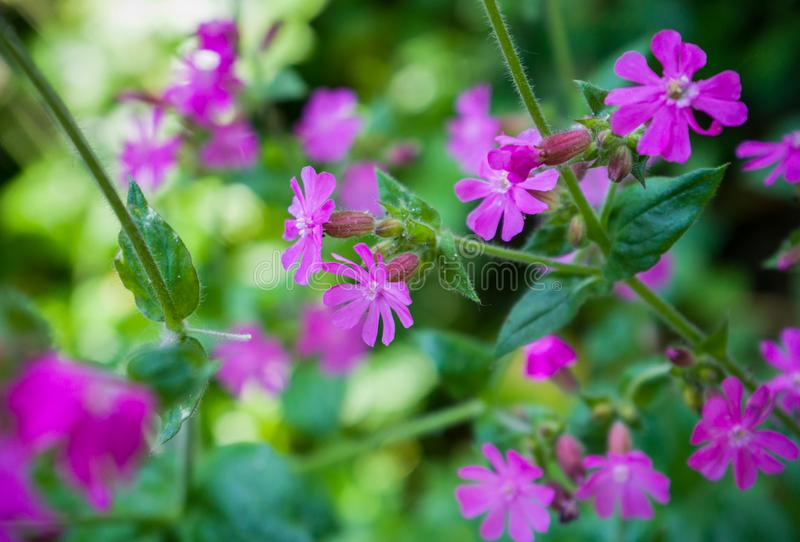 Red Campion or Catchfly, Silene dioica pink wild flower.  stock photo