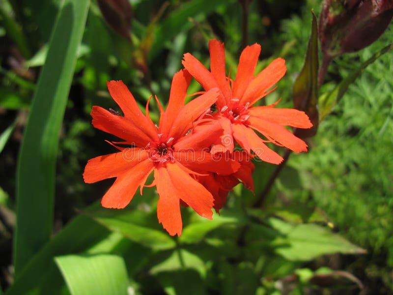 Red campion flower (Lychnis haageana) stock image