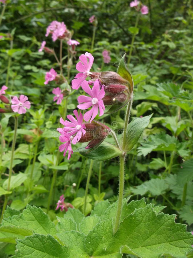Red Campion Flower royalty free stock image