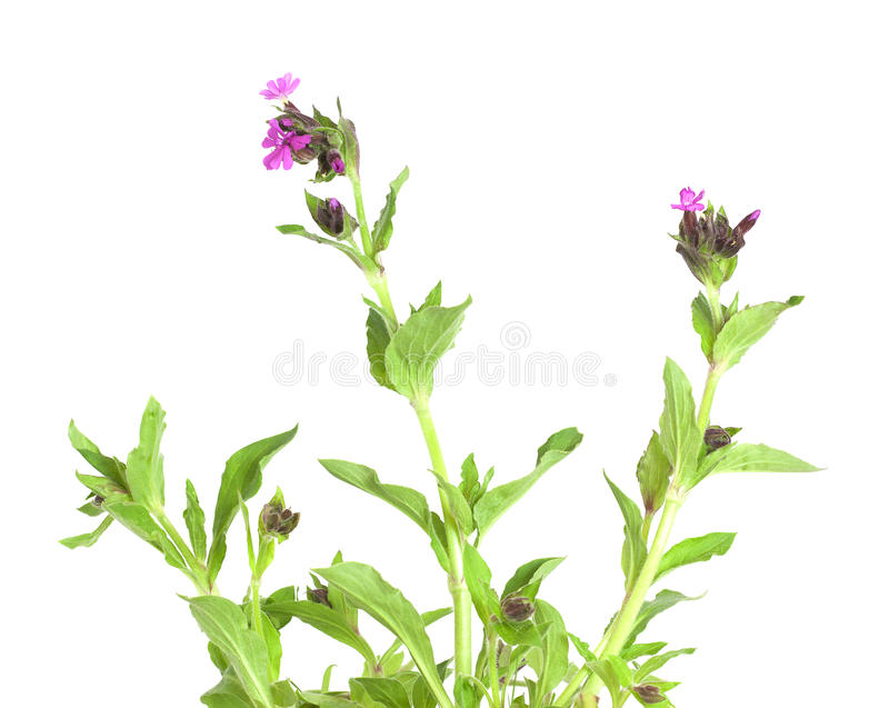Red campion (Silene dioica) isolated