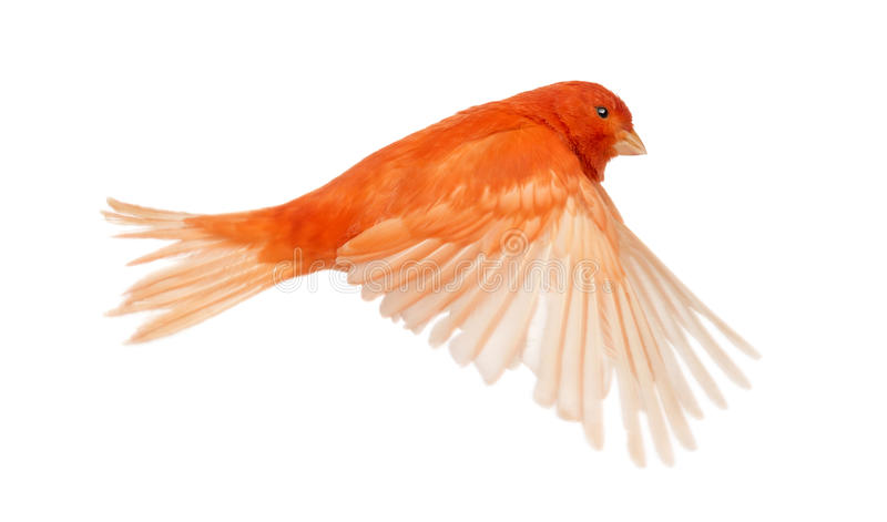 Red canary Serinus canaria, flying. Against white background