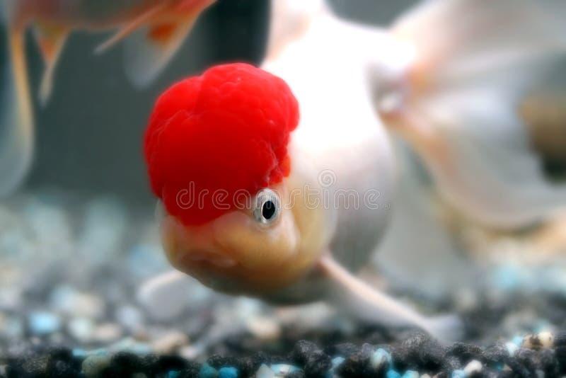 Red cap oranda royalty free stock photo