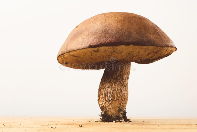 Red-capped scaber stalk on white background. Red-capped scaber stalk, Leccinum aurantiacum on white background, fixed on a wooden plank stock images