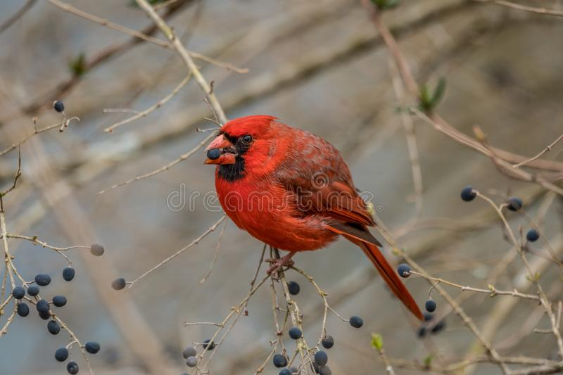 Red cardinal sitting eating berries. A red cardinal bird on a tree branch eating berries in the winter royalty free stock photos
