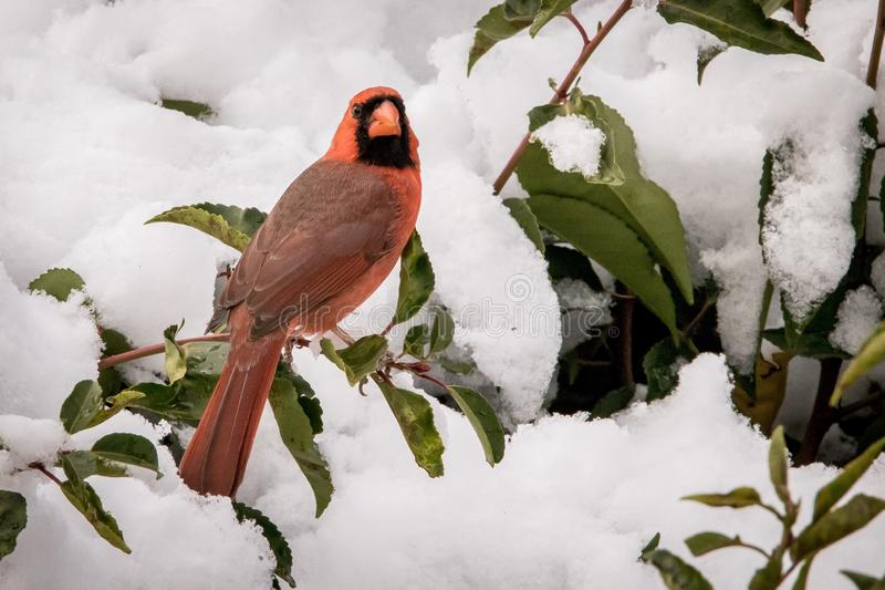 Red cardinal on red branch of green bush with snow royalty free stock images