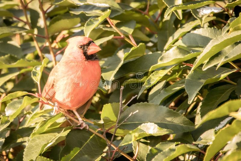Red cardinal on red branch with green leaves snow stock photo