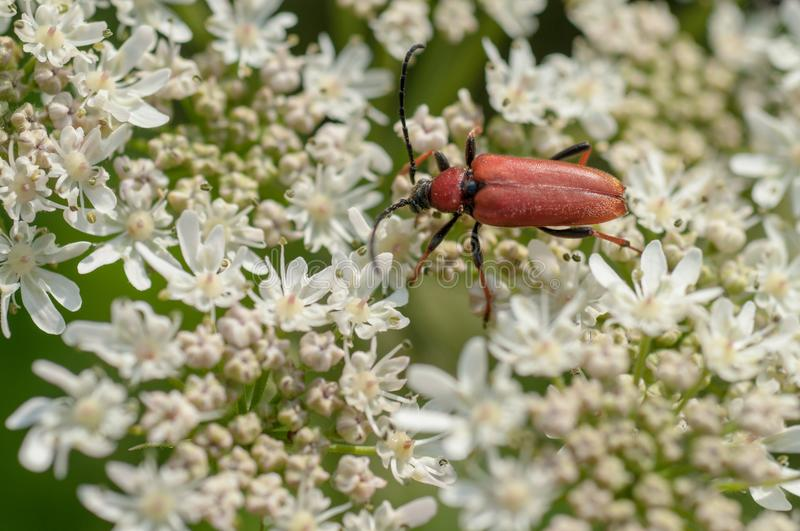Red cardinal insect in summer close up on a white flower stock photos