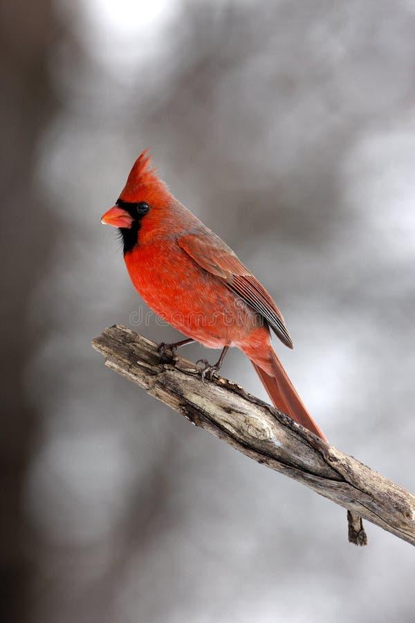 Red cardinal masculino fotos de stock