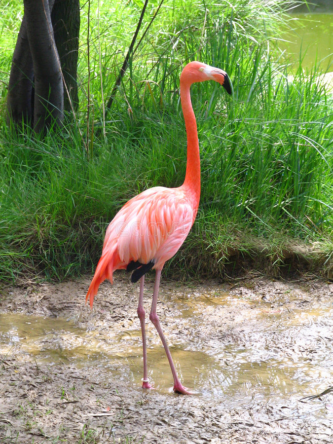 RED CARIBBEAN FLAMINGO stock image