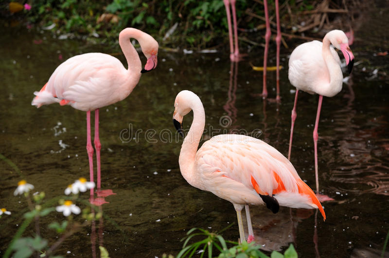Red caribbean flamingo. In Taipei Zoo stock images