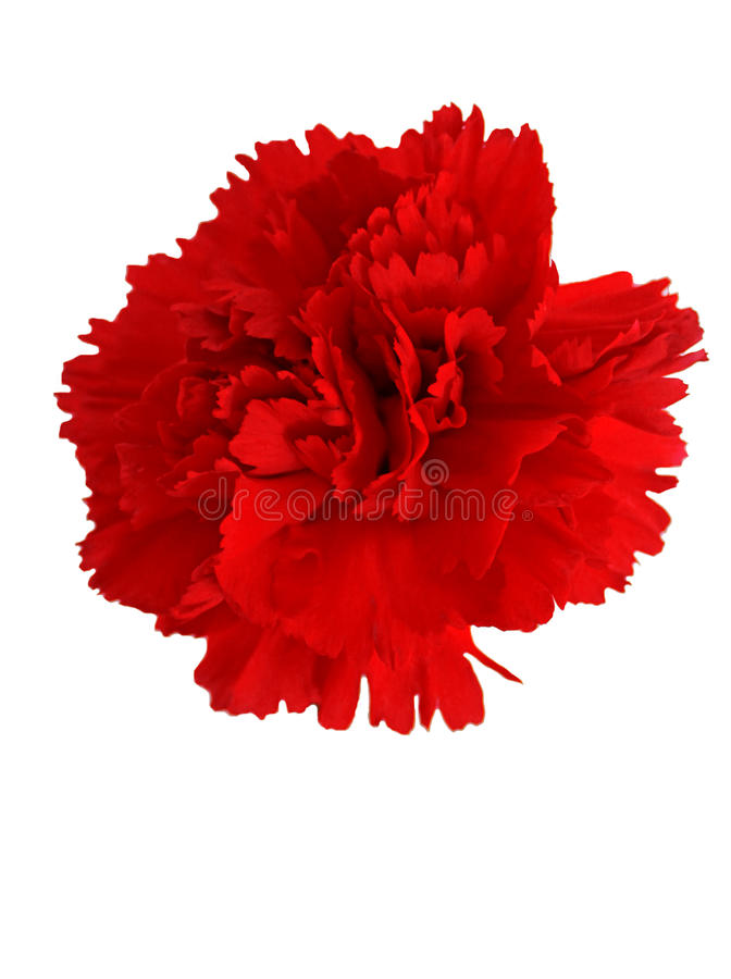 Red carnation royalty free stock photo