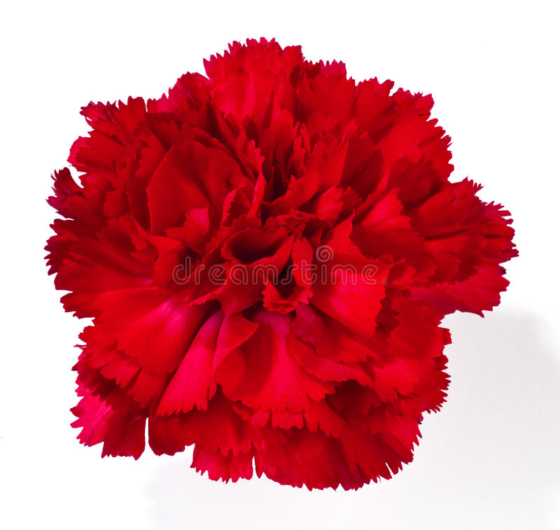 Free Red Carnation Royalty Free Stock Images - 24840029