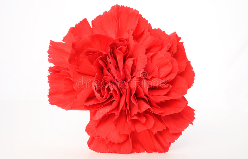 Red Carnation. Isolated on a White Background royalty free stock photography