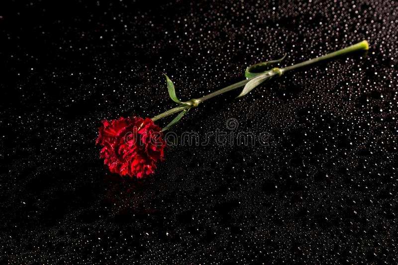 Red carnation on a black reflective background with drops of water, Studio shot, stock photo