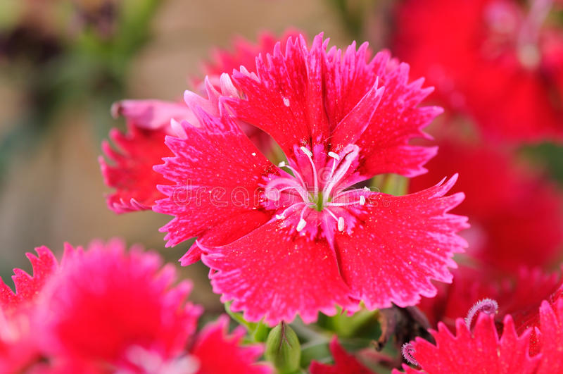 Red carnation royalty free stock photos