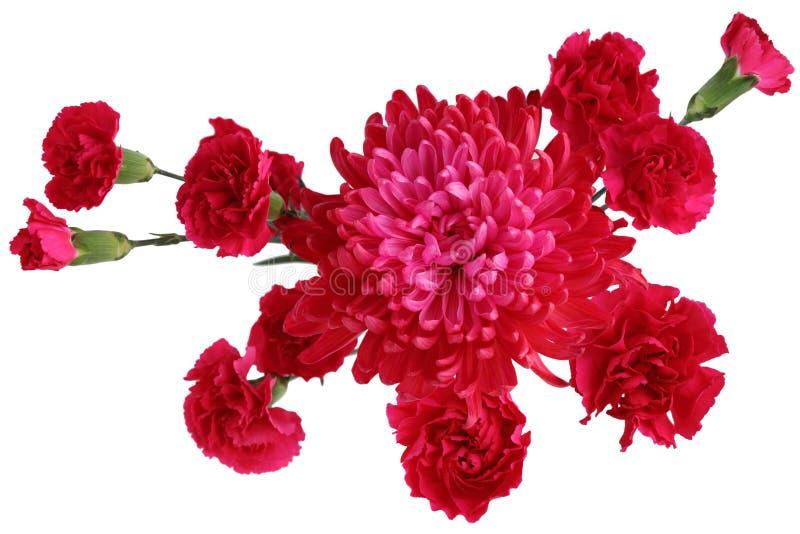 Red Carnation Chrysanthemum royalty free stock image