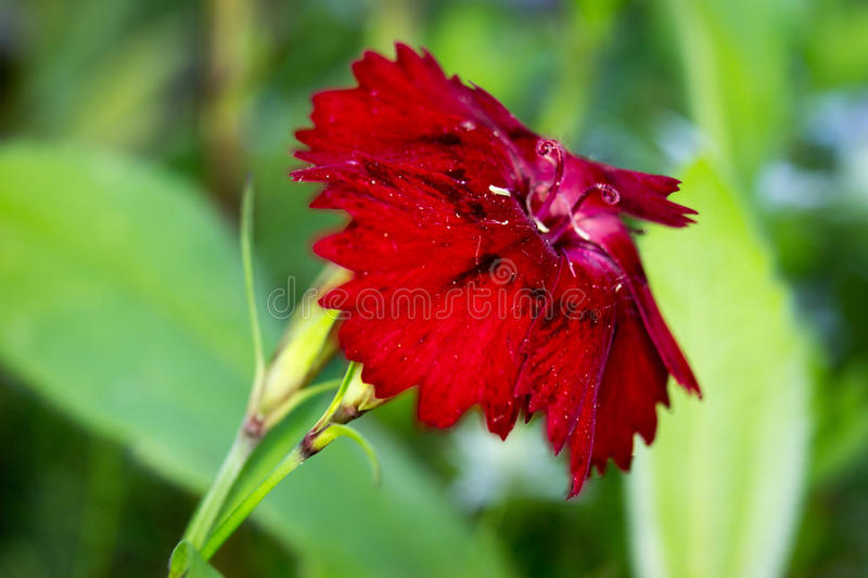 Red carnation - Dianthus caryophyllus. In the garden stock photography