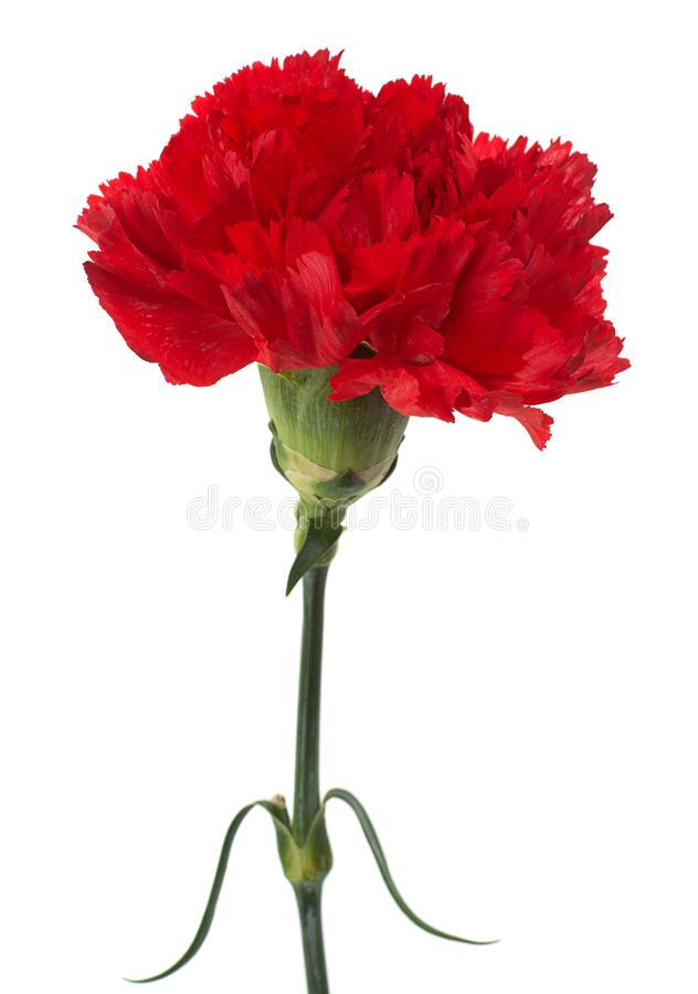 Red carnation flower. Head isolated on white background stock photos