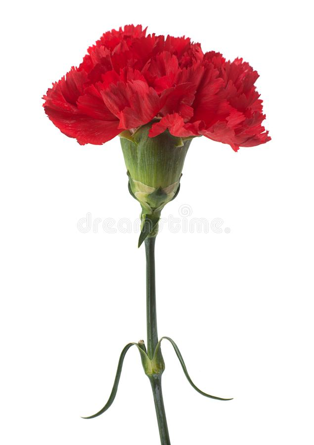 Red carnation flower. Head isolated on white background stock photography