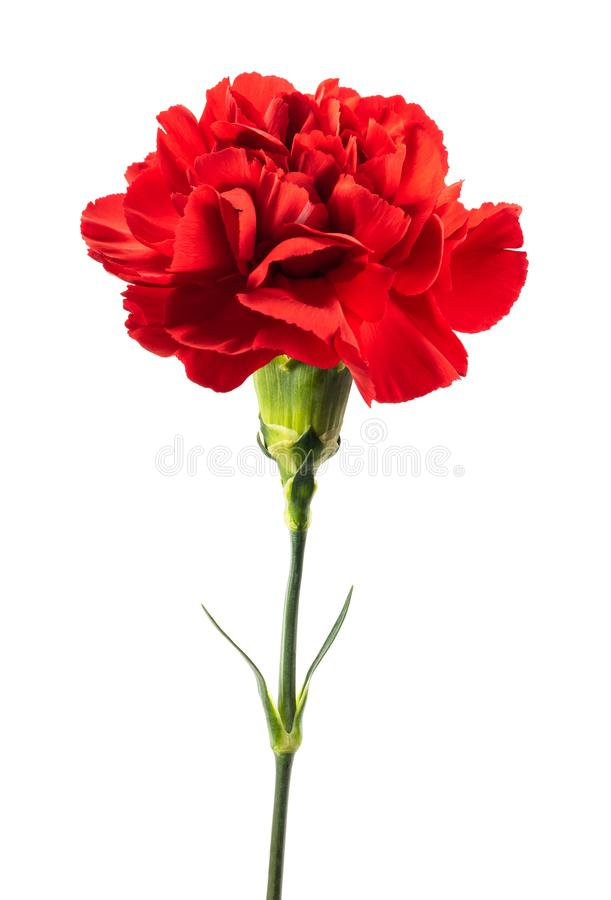 Red carnation. Flower isolated on white background royalty free stock photo