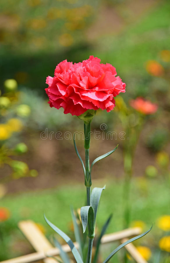 Red carnation flower on nature background. Red carnation flower blooming in the garden stock photography